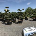 Okrasné stromy Impeka - Milín - 02