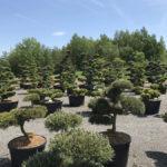 Okrasné stromy Impeka - Milín - 08