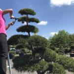 Okrasné stromy Impeka - Milín - 09