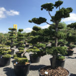 Okrasné stromy Impeka - Milín - 10
