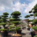 Okrasné stromy Impeka - Milín - 12