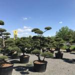 Okrasné stromy Impeka - Milín - 13
