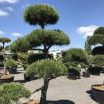 Okrasné stromy Impeka - Milín - 27