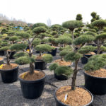Okrasné stromy do zahrady - 02