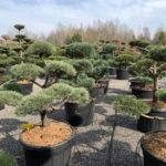 Okrasné stromy do zahrady - 03