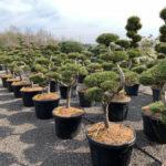 Okrasné stromy do zahrady - 04