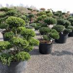 Okrasné stromy do zahrady - 06