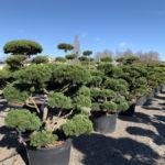 Okrasné stromy do zahrady - 10