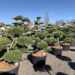 Okrasné stromy do zahrady - 11