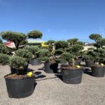 Okrasné stromy do zahrady - 12