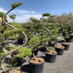 Okrasné stromy do zahrady - 13