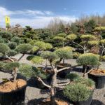 Okrasné stromy do zahrady - 14
