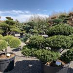 Okrasné stromy do zahrady - 15