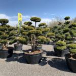 Okrasné stromy do zahrady - 16