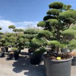 Okrasné stromy do zahrady - 17
