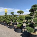 Okrasné stromy do zahrady - 18