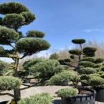 Okrasné stromy do zahrady - 19