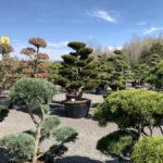 Okrasné stromy do zahrady - 20