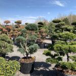 Okrasné stromy do zahrady - 21