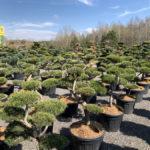 Okrasné stromy do zahrady - 22