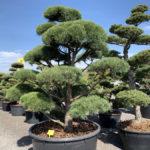 Okrasné stromy do zahrady - 24