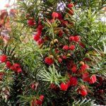 Semena tisu červeného (foto: Frank Vincentz)