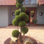 Solitérní stromy v okrasné zahradě - 05