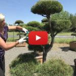 Střih tvarované borovice