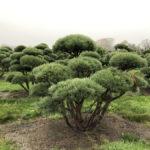 Stromy na plantážích - 49