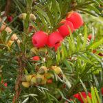 Tis červený - Taxus baccata (foto: Frank Vincentz)