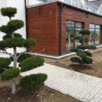 Tvarované borovice u obchodního domu 1