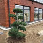 Tvarované borovice u obchodního domu 2