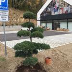 Tvarované borovice u obchodního domu 4