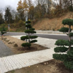 Tvarované borovice u obchodního domu 6