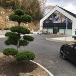 Tvarované borovice u obchodního domu 7