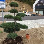 Tvarované borovice u obchodního domu 8
