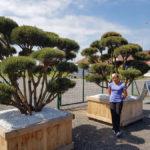 Tvarované okrasné stromy Impeka - 003