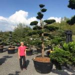 Tvarované okrasné stromy Impeka - 006