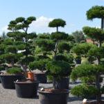 Tvarované okrasné stromy Impeka - 007