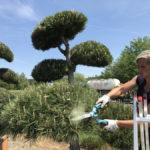 Tvarované okrasné stromy Impeka - 008