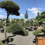 Tvarované okrasné stromy Impeka - 009