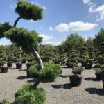 Tvarované okrasné stromy Impeka - 014