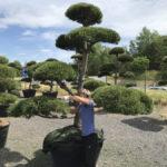 Tvarované okrasné stromy Impeka - 016