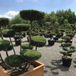 Tvarované okrasné stromy Impeka - 017
