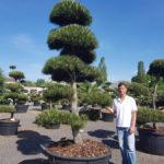 Tvarované okrasné stromy Impeka - 018