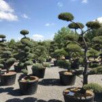 Tvarované okrasné stromy Impeka - 019