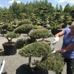 Tvarované okrasné stromy Impeka - 020