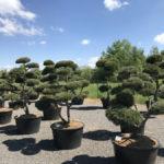 Tvarované okrasné stromy Impeka - 022