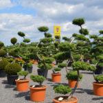 Tvarované okrasné stromy Impeka - 024