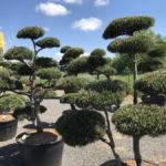 Tvarované okrasné stromy Impeka - 025